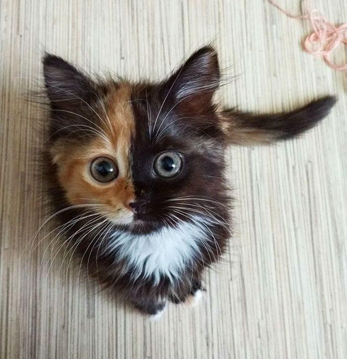 gato-dos-caras8