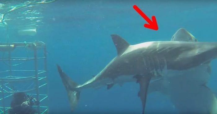 tiburon destacada