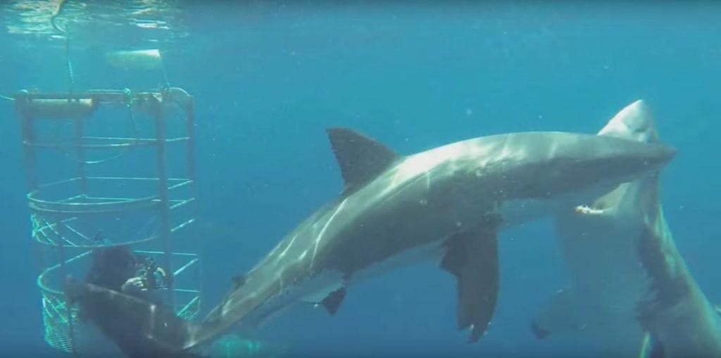 tiburon-pelea2 copia