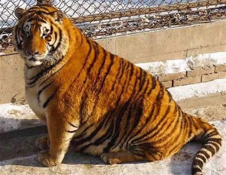 animales-obesos
