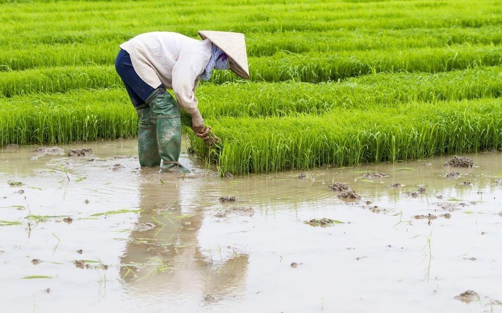 arroz-arsenico3