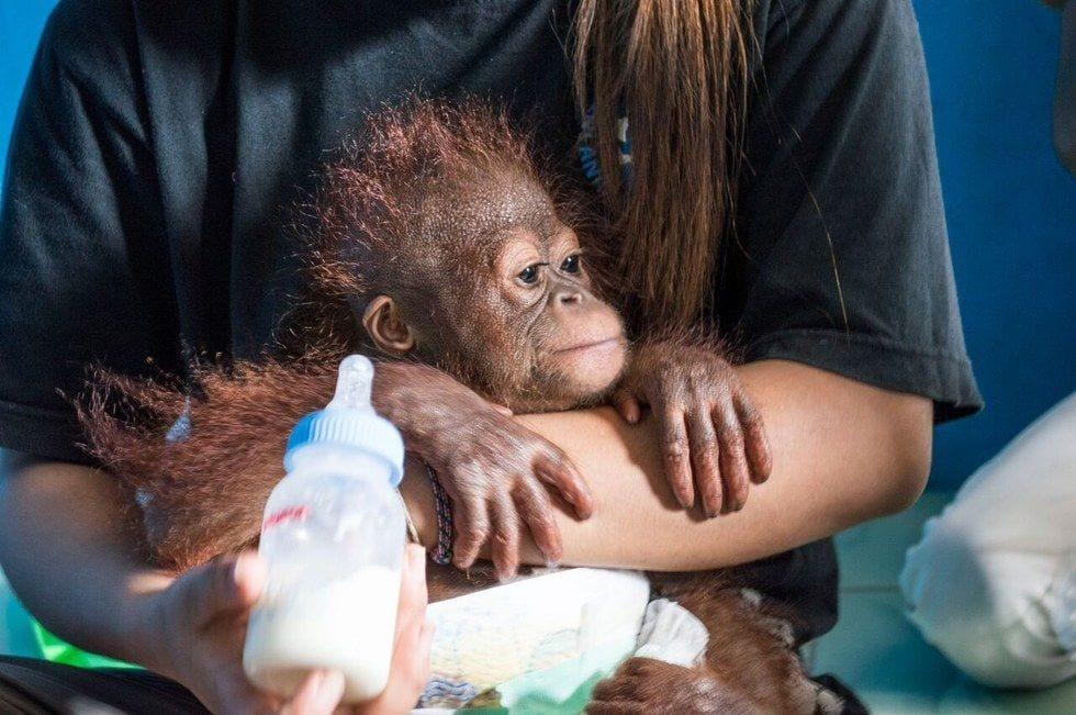 bebe-orangutan-rescate