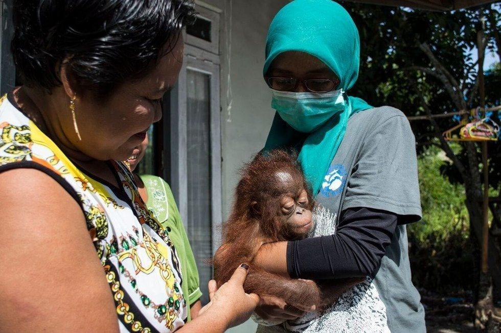bebe-orangutan-rescate1