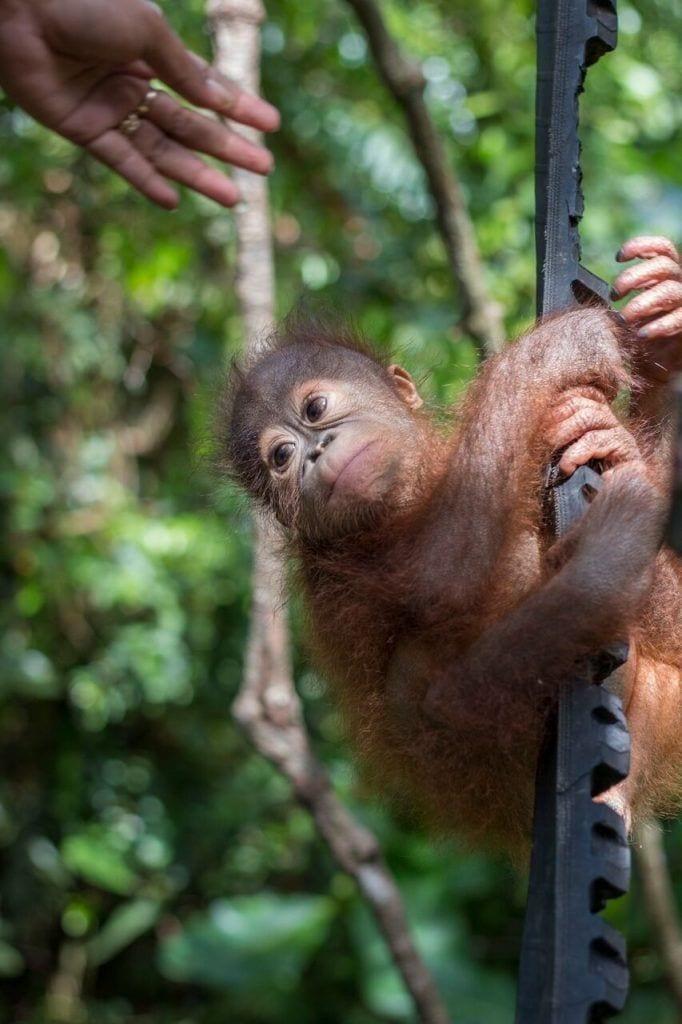 bebe-orangutan-rescate10