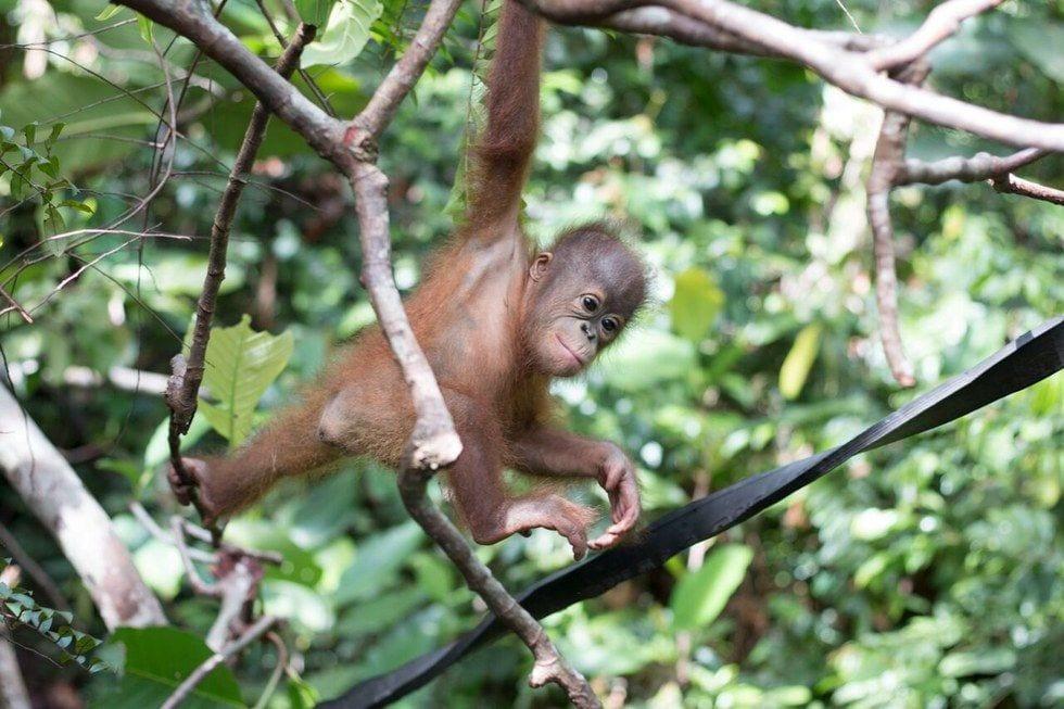 bebe-orangutan-rescate11