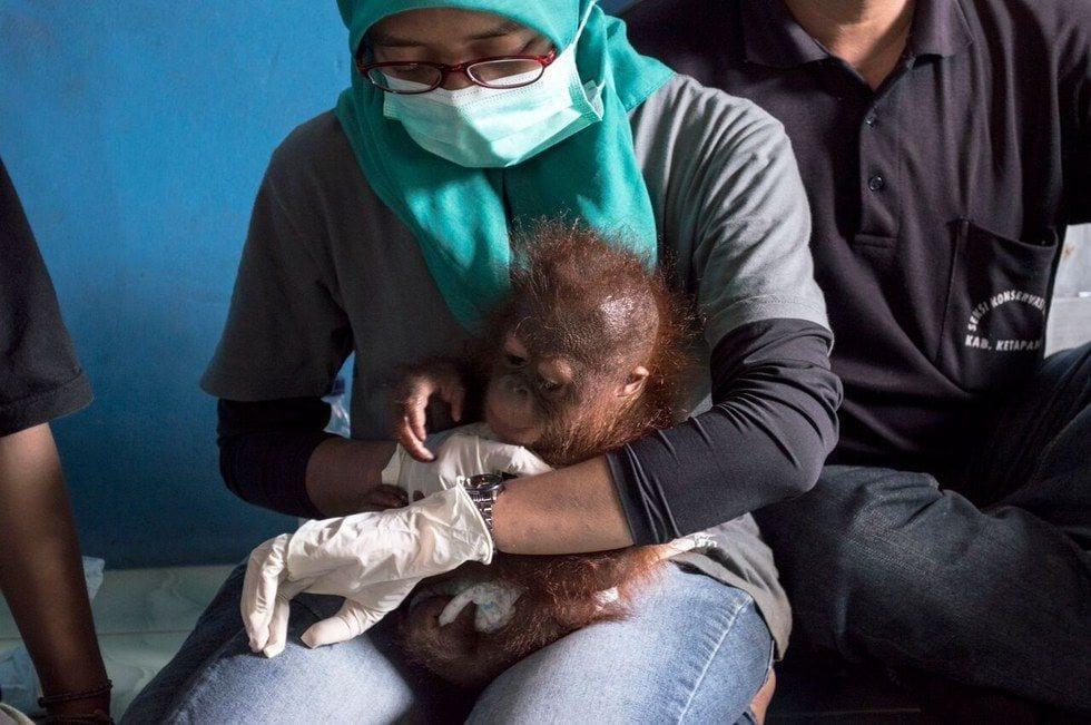 bebe-orangutan-rescate2