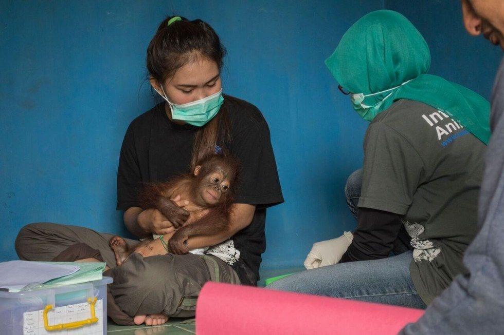 bebe-orangutan-rescate3