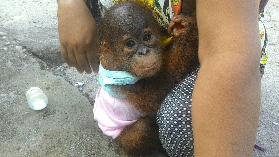 bebe-orangutan-rescate6