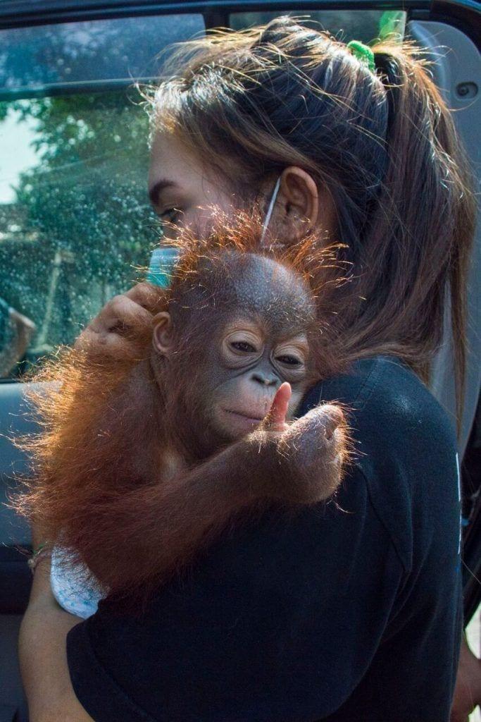 bebe-orangutan-rescate9