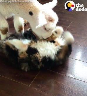 cabra-gato-amigos-1