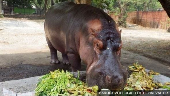 gustavito-hipopotamo-02