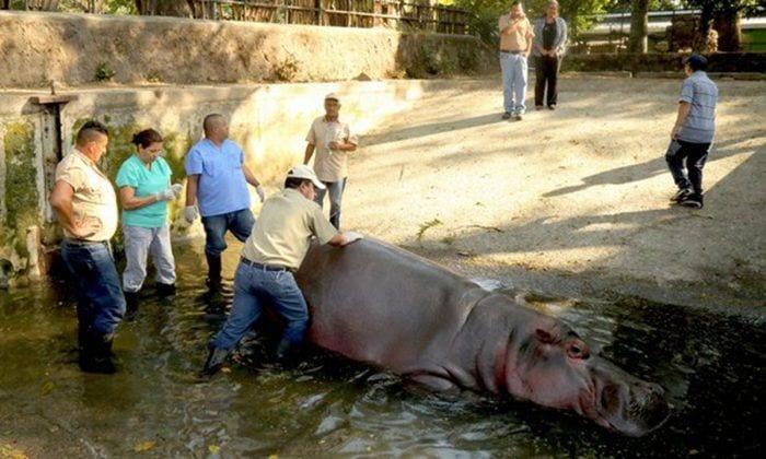 gustavito hipopotamo destacada