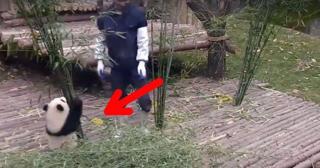panda amoroso