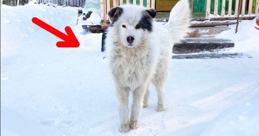 perro heroe siberia