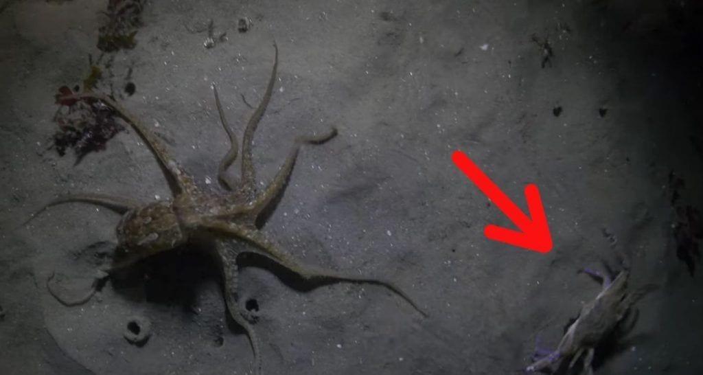 pulpo cangrejo destacada