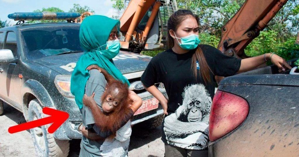 rescate orangutan
