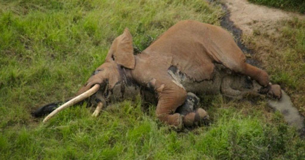 asesinado por colmillos elefante tusker