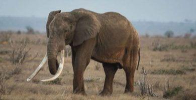 elefante satao ii