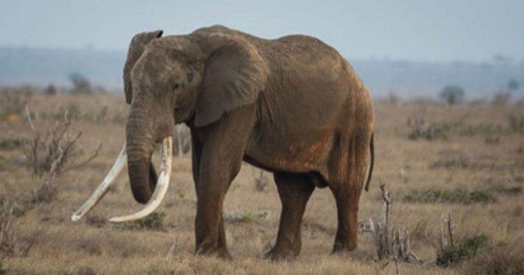 elefante-satao-ii