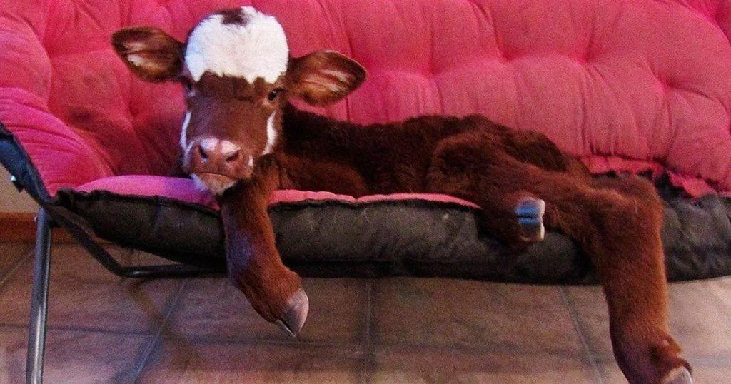 vaca rescatada destacada