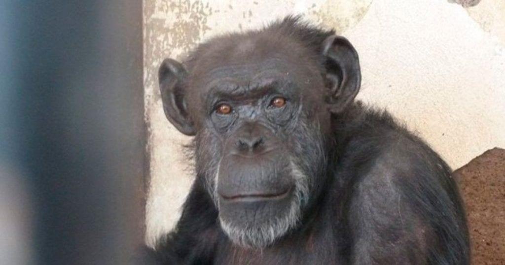 Cecilia, la primera chimpancé con derechos