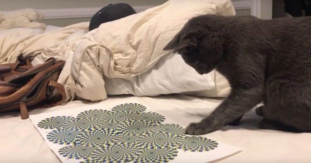 Un gato enfrenta una ilusión óptica