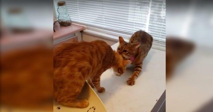 gatos veterinarios