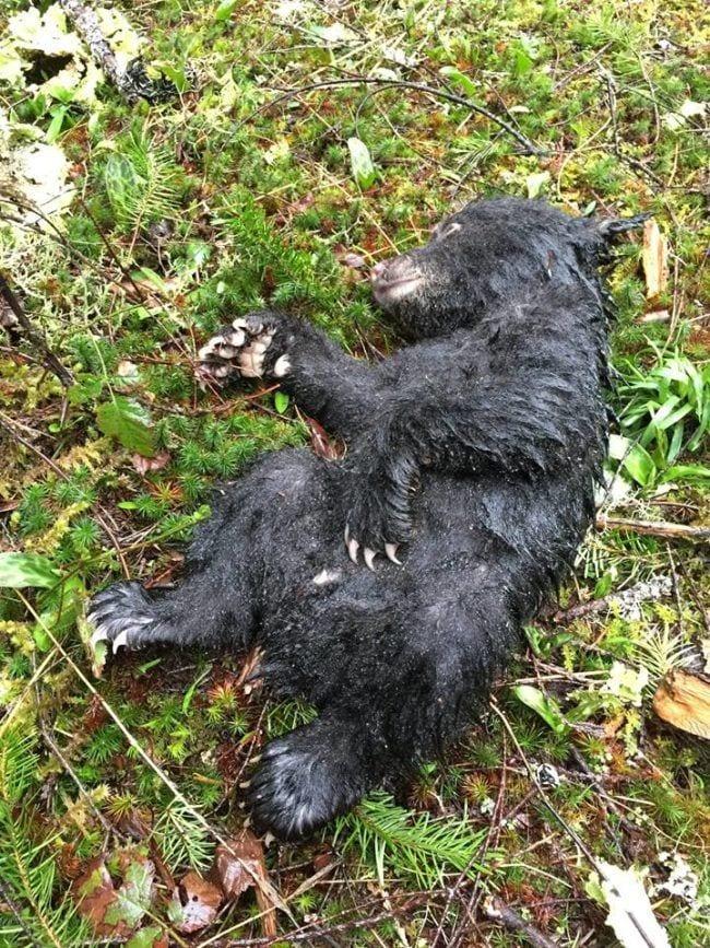 hombre-salva-oso