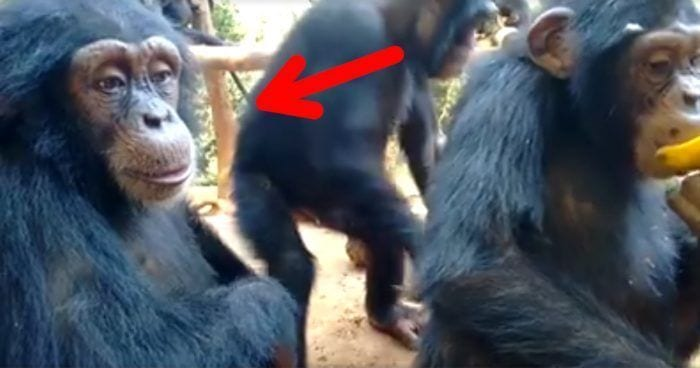 mirada humana chimpance