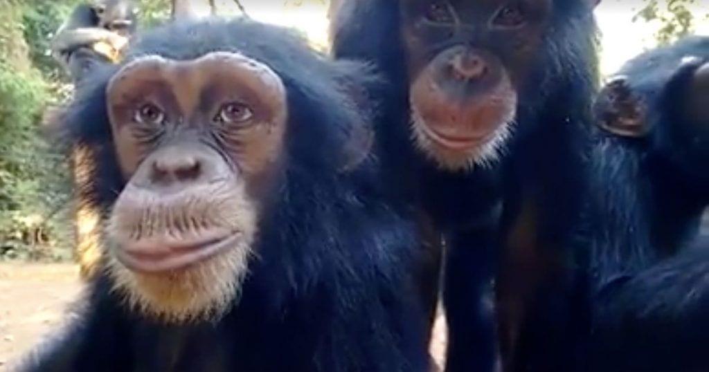 La mirada humana de un chimpancé
