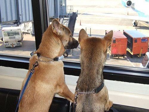 perros-viajar-avion1