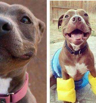 pitbulls inofensivos