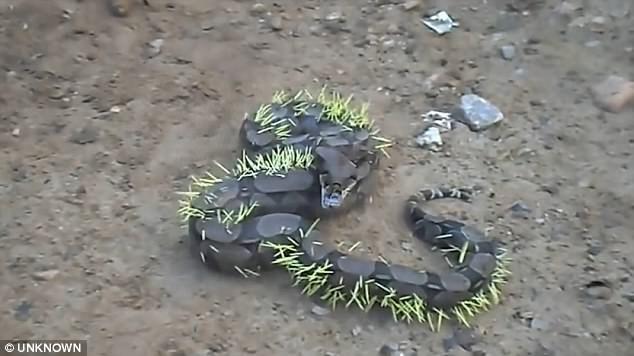 Una serpiente trata de comer un erizo