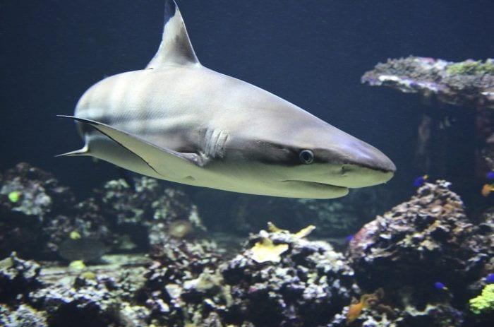 tiburones necesarios2
