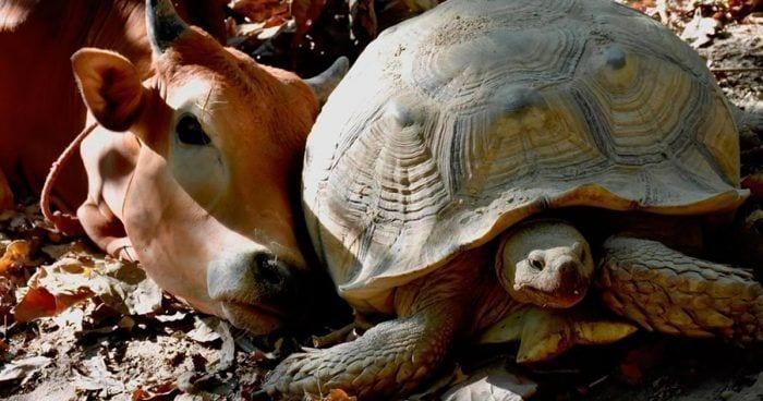 tortuga becerro amigos destacada