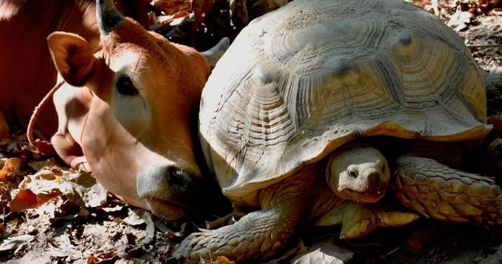 tortuga-becerro-amigos-destacada