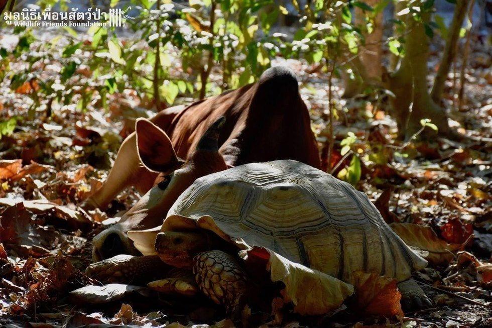 tortuga-vaca-amigas10