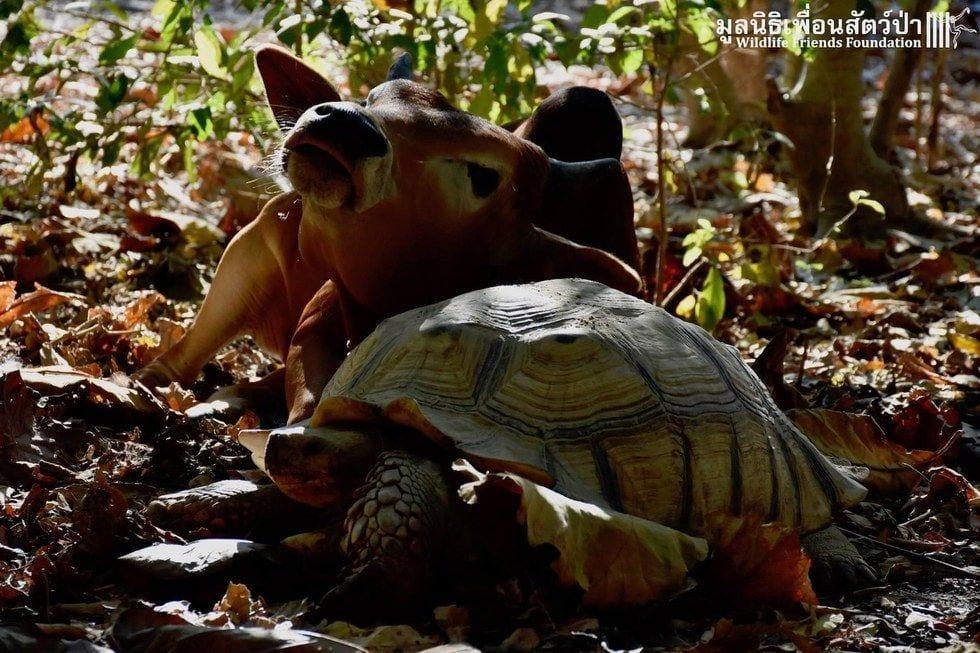 tortuga-vaca-amigas11