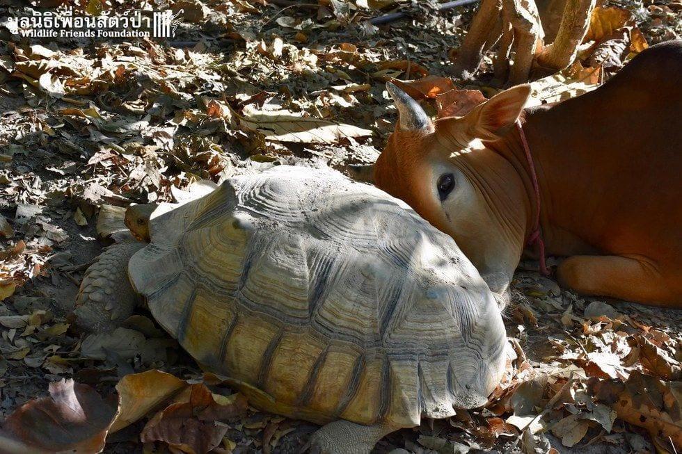 tortuga-vaca-amigas2
