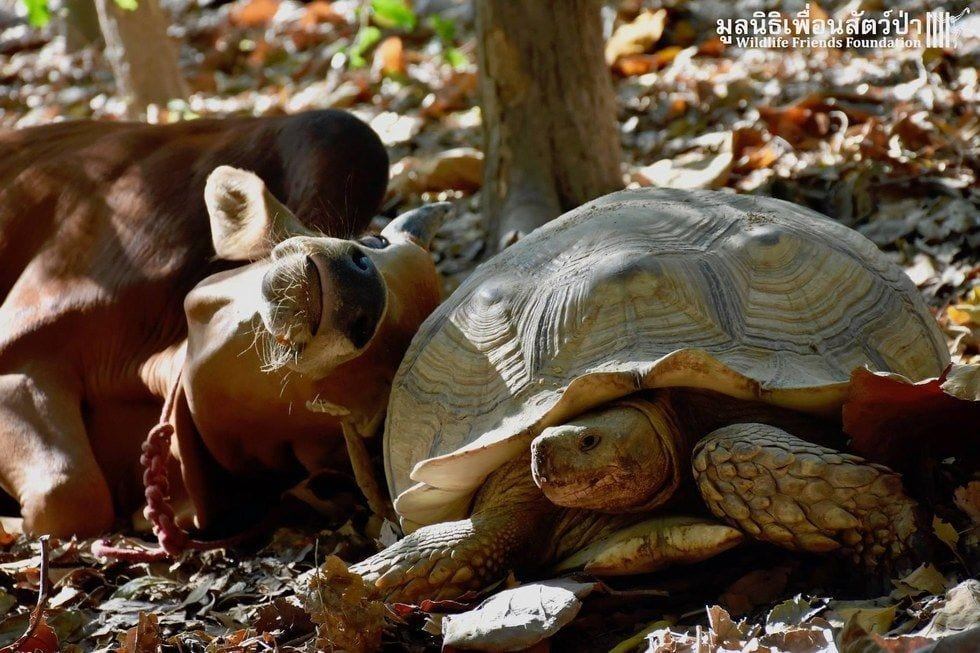 tortuga-vaca-amigas3