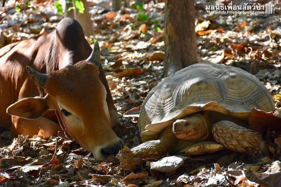 tortuga-vaca-amigas4