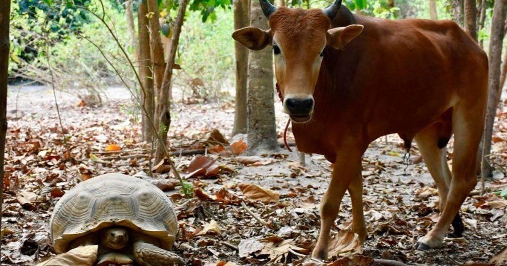 vaca-tortuga