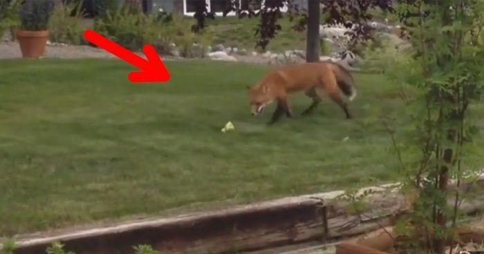 zorro jugando destacada