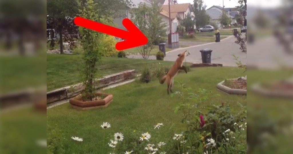 Un zorro que juega en el jardín de una casa