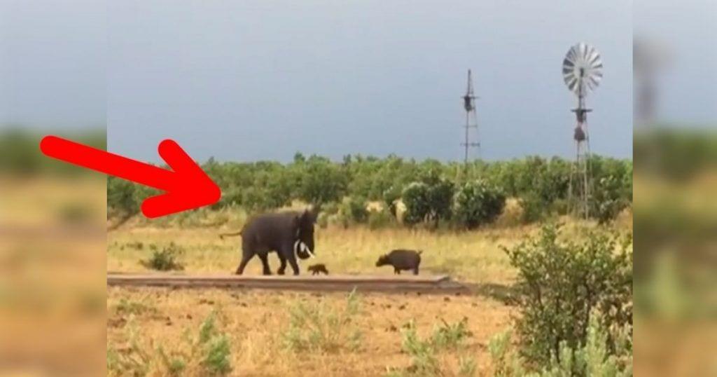 cria-bufalo-elefante