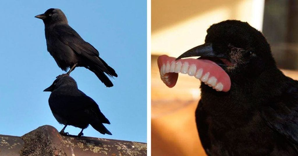 cuervos destacada