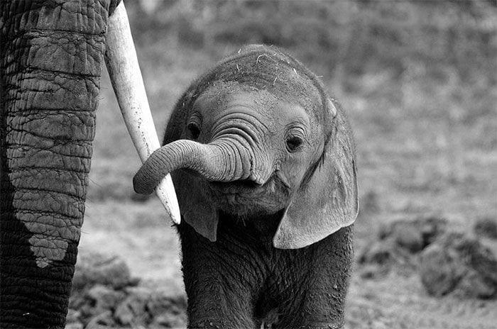 bebés elefantes 11