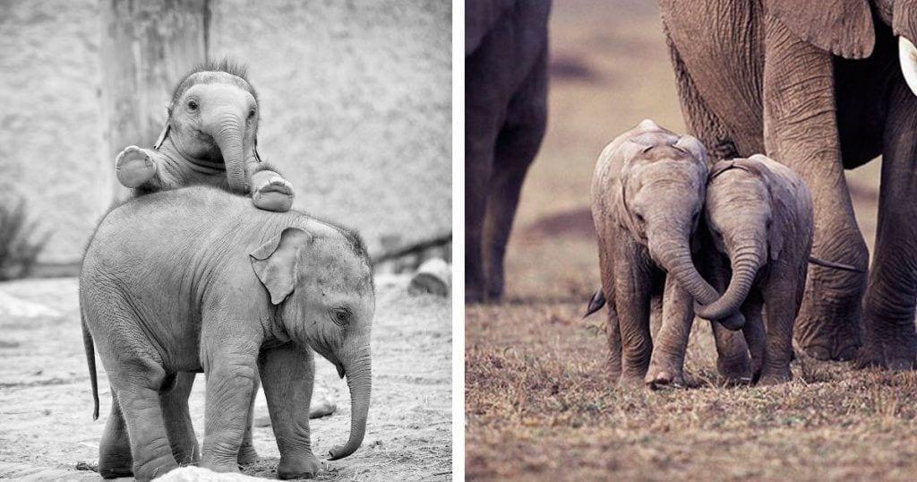 elefantes bebes destacada
