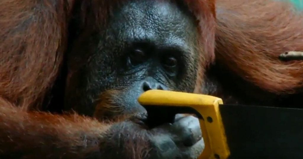 orangutana sierra destacda