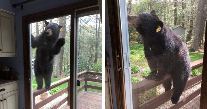 osos brownie